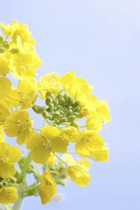 菜の花の写真素材 [FYI04178997]