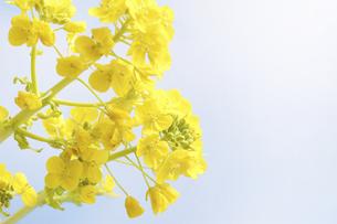 菜の花の写真素材 [FYI04178998]