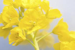 菜の花の写真素材 [FYI04178999]