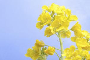 菜の花の写真素材 [FYI04179000]