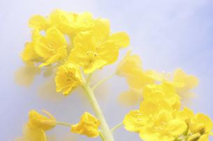 菜の花の写真素材 [FYI04179001]