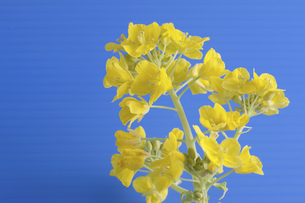 菜の花の写真素材 [FYI04179012]