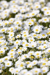 ノースポールの花の写真素材 [FYI04179933]