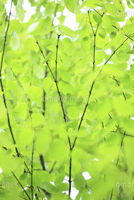 カツラの新緑の写真素材 [FYI04182417]
