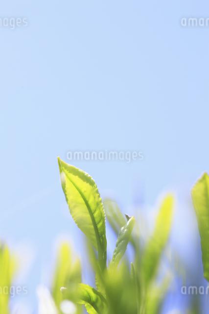 お茶の葉と青空の写真素材 [FYI04182931]