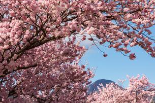 春めき桜の写真素材 [FYI04183391]