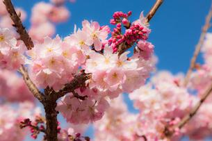 春めき桜の写真素材 [FYI04183397]