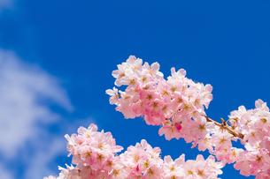 春めき桜の写真素材 [FYI04183416]
