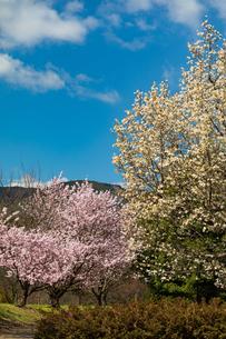 こぶしと桜の写真素材 [FYI04183427]