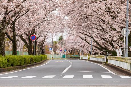 桜並木の写真素材 [FYI04183441]