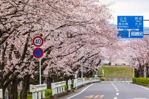 桜並木の写真素材 [FYI04183442]