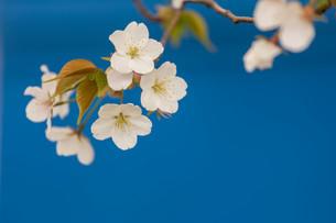 山桜の写真素材 [FYI04183464]
