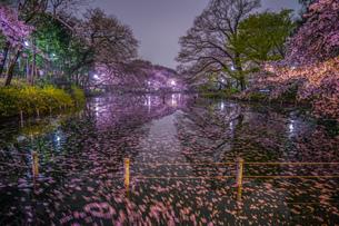 井の頭公園の夜桜の写真素材 [FYI04184058]