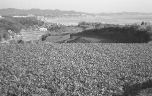 三浦半島・ダイコン畑の写真素材 [FYI04184086]
