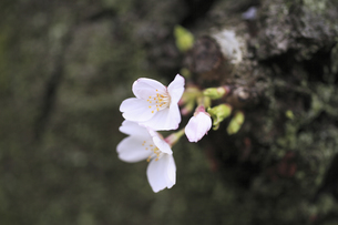 古木の桜の写真素材 [FYI04187304]