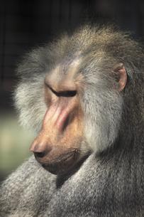 日本猿の写真素材 [FYI04187511]