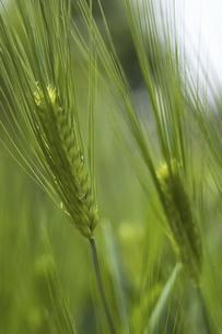 小麦の写真素材 [FYI04187714]