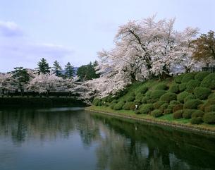 米沢城址の桜の写真素材 [FYI04188009]