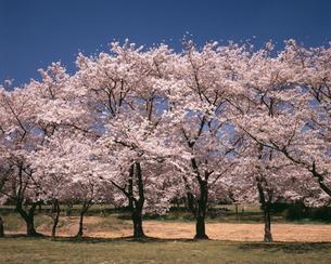 田島ヶ原の桜並木の写真素材 [FYI04188010]