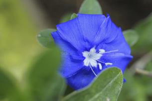 コンボルブルスの花の写真素材 [FYI04188207]