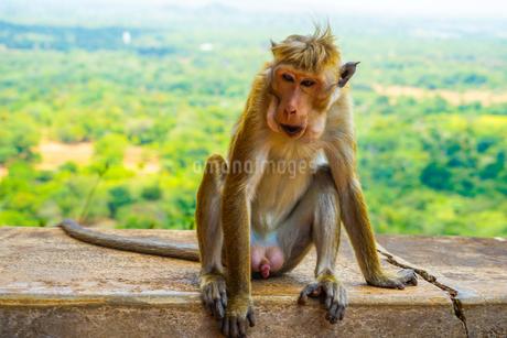 猿(スリランカ・シーギリヤロック)の写真素材 [FYI04189303]