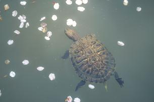 桜の花びらが浮かぶ池を泳ぐミドリガメの写真素材 [FYI04189415]