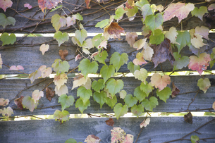 木の塀を彩るツタの写真素材 [FYI04189656]