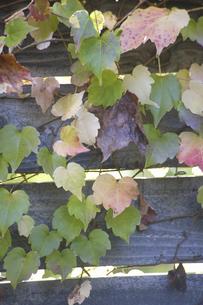 木の塀を彩るツタの写真素材 [FYI04189659]