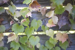 木の塀を彩るツタの写真素材 [FYI04189660]