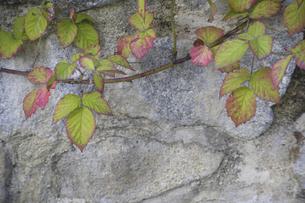 石垣を彩るブラックベリーの蔓の写真素材 [FYI04189675]