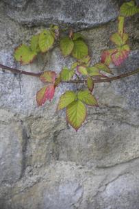石垣を彩るブラックベリーの蔓の写真素材 [FYI04189677]
