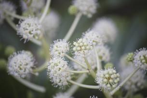 ヤツデの白い花の写真素材 [FYI04189688]