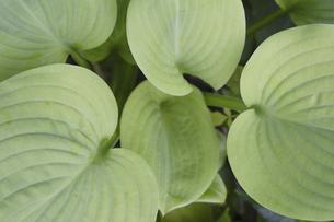 ギボウシの葉の写真素材 [FYI04189697]