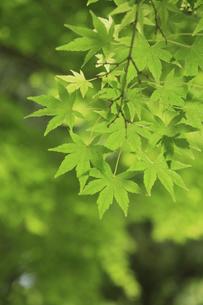カエデの新緑の写真素材 [FYI04189925]