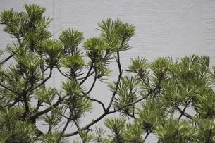剪定された松の小枝の写真素材 [FYI04191165]