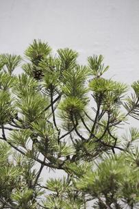 剪定された松の小枝の写真素材 [FYI04191169]