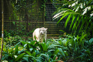 ジャングルに佇むホワイトタイガーの写真素材 [FYI04191617]