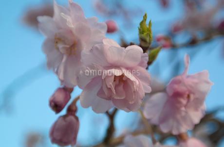 青空と枝垂桜の写真素材 [FYI04191783]