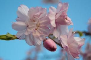 青空と枝垂桜の写真素材 [FYI04191826]