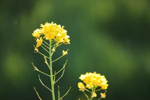 菜の花2輪の写真素材 [FYI04192110]