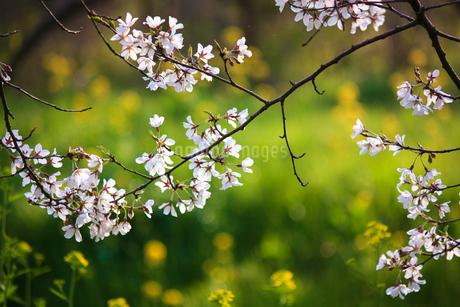 エドヒガンザクラと菜の花の写真素材 [FYI04192445]
