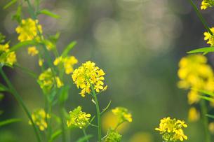 菜の花の写真素材 [FYI04192471]
