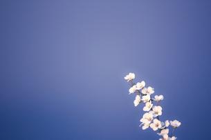 青空に向かって咲く桜の花の写真素材 [FYI04192833]
