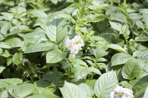 ジャガイモの花の写真素材 [FYI04193391]