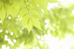 新緑のケヤキの葉の写真素材 [FYI04193515]