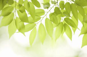 新緑のケヤキの葉の写真素材 [FYI04193517]