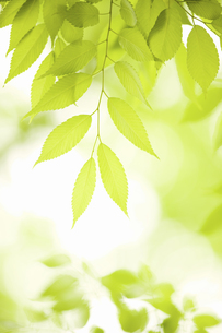 新緑のケヤキの葉の写真素材 [FYI04193518]