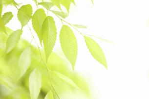新緑のケヤキの葉の写真素材 [FYI04193520]