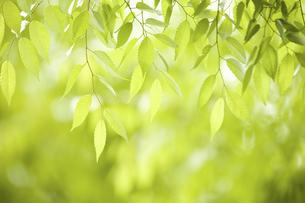 新緑のケヤキの葉の写真素材 [FYI04193521]