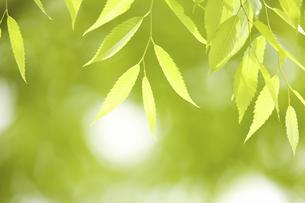 新緑のケヤキの葉の写真素材 [FYI04193522]